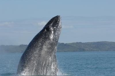 A study reveals humpback whales on both sides of the southern Indian Ocean are singing different tunes, unusual since humpbacks in the same ocean basin usually all sing very similar songs. Credit: S. Cerchio/Wildlife Conservation Society