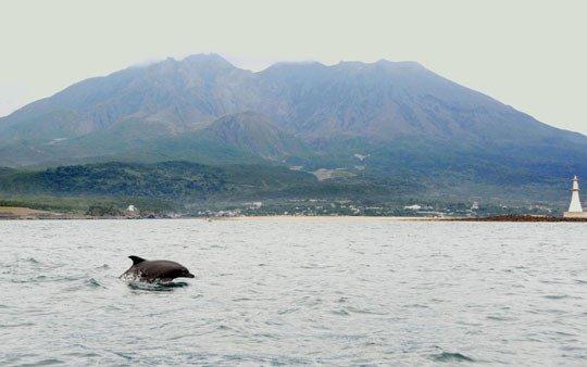 An Indo-Pacific bottlenose dolphin is seen in Kagoshima Bay last September, with Mount Sakurajima, an active volcano, in the background. Credit: Kagoshima City Aauarium