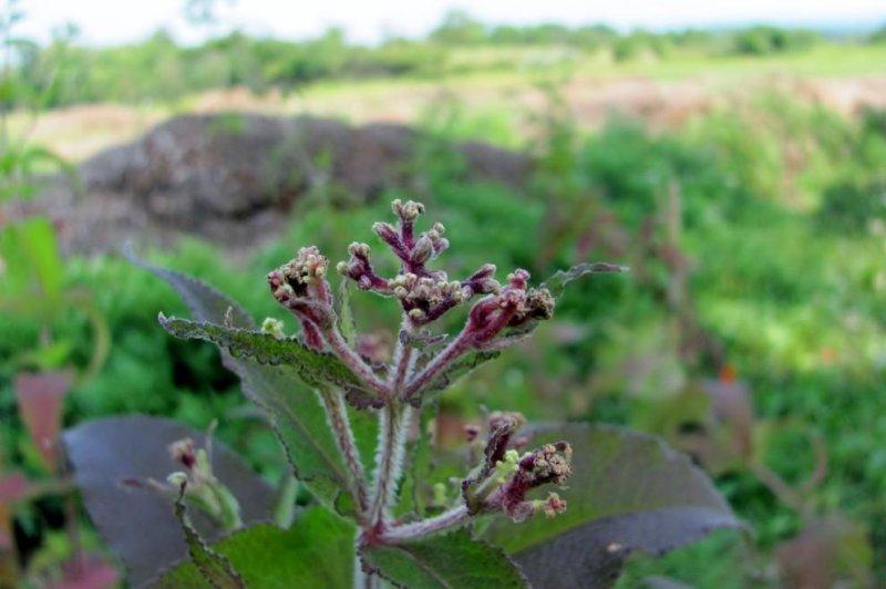 Herbicide drift affects adjacent fields, delays flowering