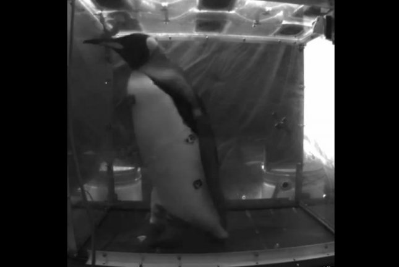 A penguin walks on a treadmill. For science. Screenshot: Storyful