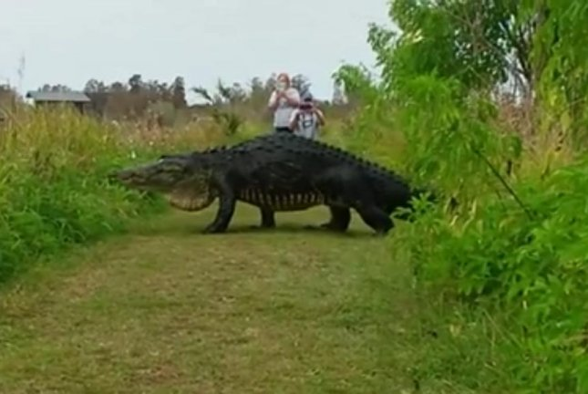 A giant alligator crosses a path at Circle B Bar Reserve's Polk Nature Discovery Center. Screenshot: Kim Joiner/Facebook