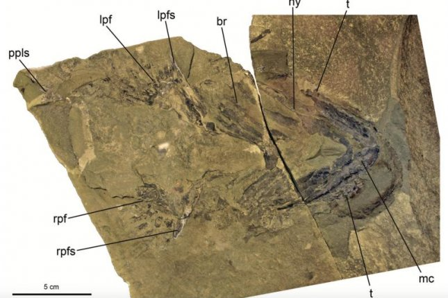 New analysis of a recently discovered fossil confirms the shark's evolutionary origins lie with a group of sharklike fish called acanthodians. Photo by Maisey et al./American Museum Novitates