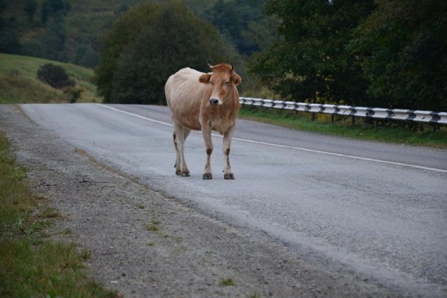 A major highway was closed Monday in Wales when a loose cow wandered out into the road. Photo by Qwas/Pixabay.com