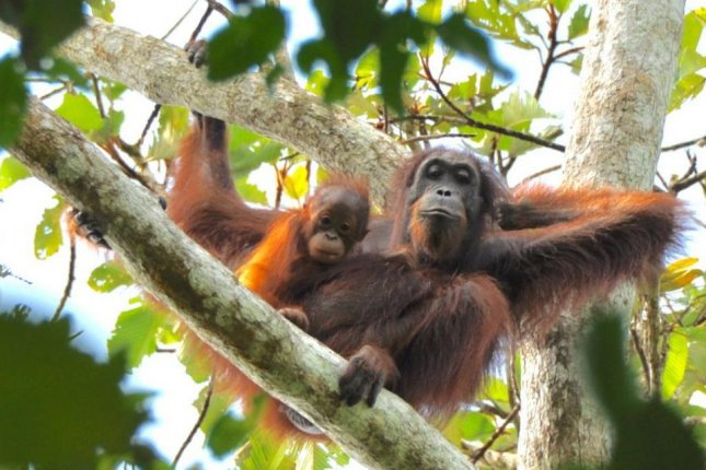 Biologists may have underestimated the orangutan's ability to adapt to human influences on the environment. Photo by University of Wisconsin Oshkosh