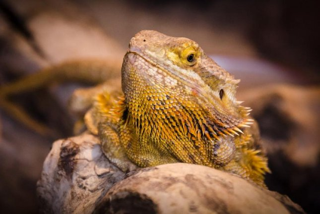 A Manitoba man was reunited with his pet bearded dragon after it turned up 2 1/2 miles from home 10 days after running away. Photo by Wildfaces/Pixabay.com