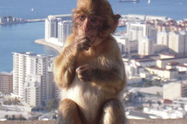 InGibraltar, the Barbary macaque, Macaca sylvanus, is quite abundant. Photo by Manuela Gonzalez-Suarez/University of Reading