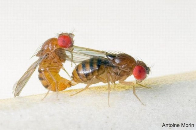 Attractive Female Flies Overwhelmed By
