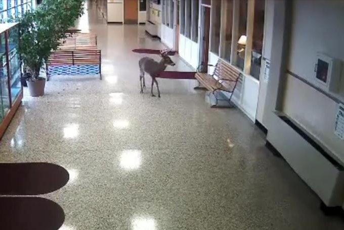 Watch Deer Slips And Slides Down School Hallway UPIcom - Flooring installation schools