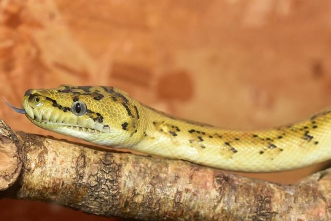 Police in Alabama are warning residents to be on the lookout for an escaped yellow python that has been spotted three time since Monday. Photo by sipa/Pixabay.com