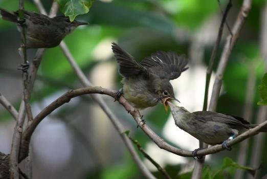 Older warbler parents get young-rearing assistant from younger adults on the Seychelles islands. Photo by Charlie Davies/UEA