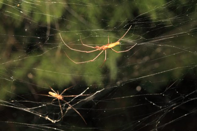 Spiders in a Dallas suburb have built a giant communal web. Photo by Texas A&M/Mike Merchant