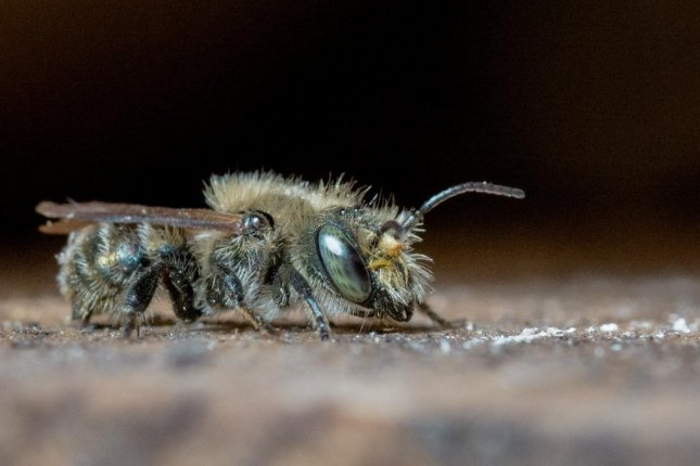 A Turkish mason bee, a cousin of the species pictured here, disappeared from a British family's garden after being ordered destroyed by environmental authorities. Photo byTheUjulala/Pixabay.com