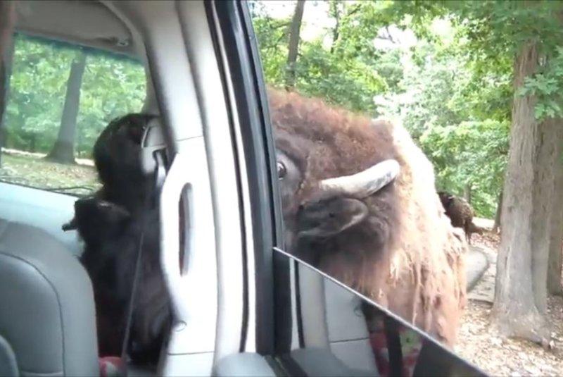 A friendly buffalo comes up to say hi. JukinMedia video screenshot