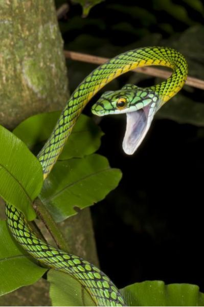 This is a parrot snake, one of at least 50 species of snake in Madidi National Park. Credit: Mileniusz Spanowicz/WCS