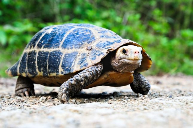 Researchers found significant amounts of heavy metal toxins in snapping turtles in the coastal wetlands of Lake Michigan. Photo by nutsiam/Shutterstock