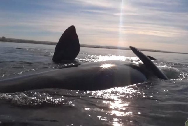 A whale prepares to lift a kayak out of the water. Screenshot: Storyful