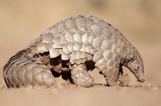 Research suggests the new coronavirus moved from bats to pangolins sold in a Chinese market, and jumped to humans. Photo courtesy of HealthDay News