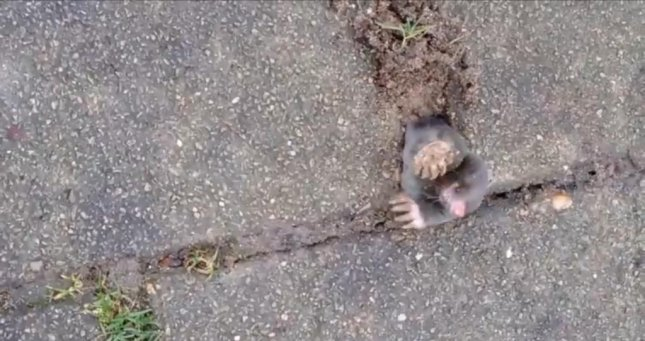 A mole struggles after attempting to surface between paving stones in the Netherlands. Newsflare video screenshot