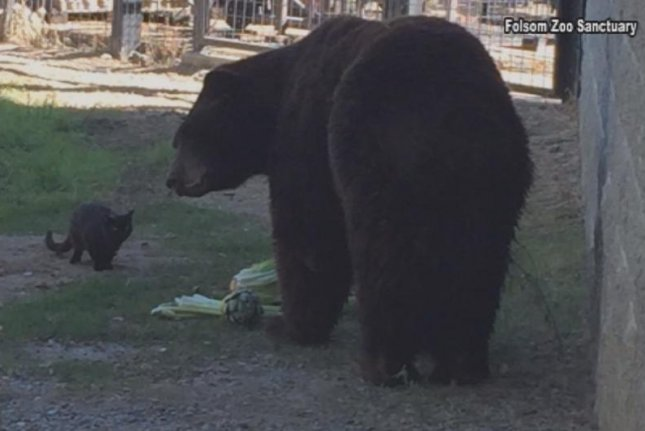A feral cat dubbed Little Bear wandered into the Folsom City Zoo Sanctuary and struck up a friendship with a bear named Sequoia. Screenshot: KERO-TV