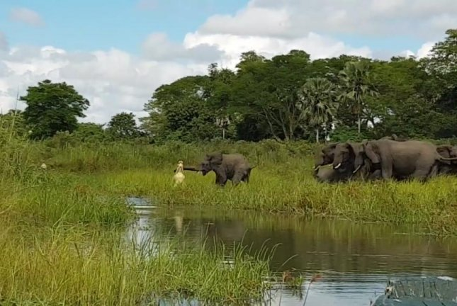 Elephant escapes from jaws of crocodile