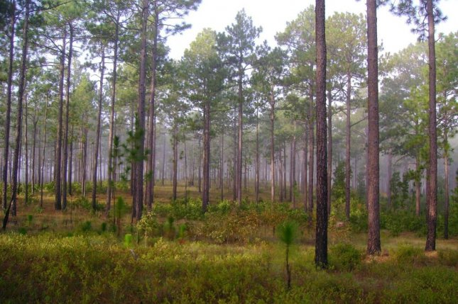 Hundreds of plant and animal species are native to the longleaf pine savannas of the American South. Photo by Jack Culpepper/USFWS