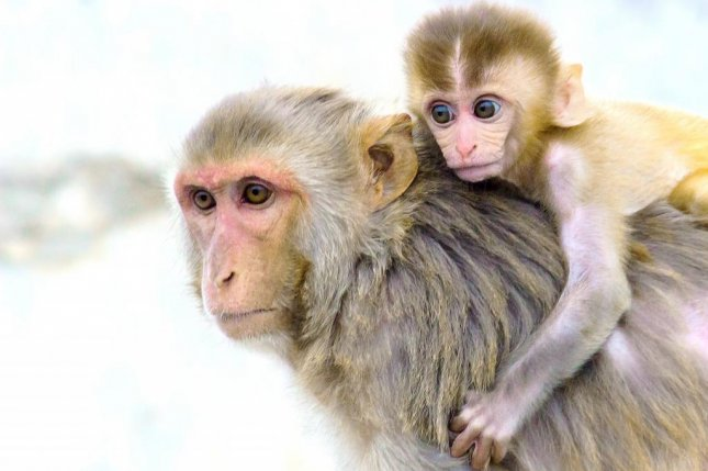 The Zika DNA vaccine VRC5283 lowered levels of Zika virus in pregnant rhesus macaques and reduced the risk of fetal problems, according to the study. Photo by Robbie Ross/Pixabay