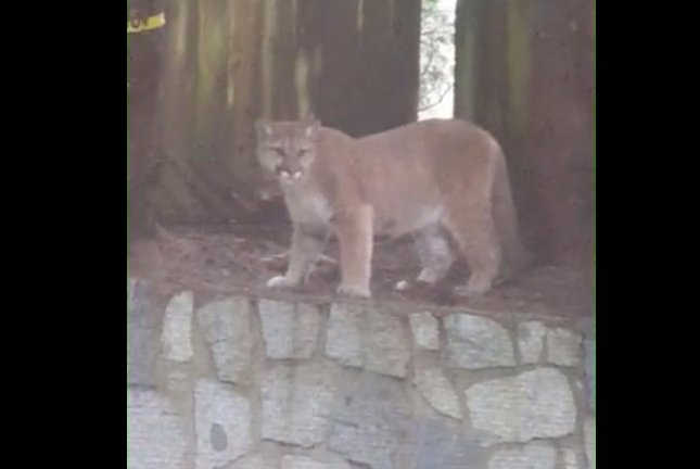 Watch  Clumsy cougar falls from family     s fence in British Columbia     UPI com A cougar stares down British Columbia homeowners after falling off the top of their fence  Screenshot  ViralHog