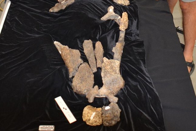 The new prehistoric crocodile species was discovered in Arlington, Texas. Photo by UT-Knoxville