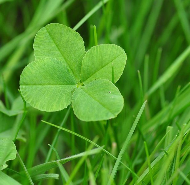 Man Unofficially Sets Guinness Record For Four Leaf Clover Hunting