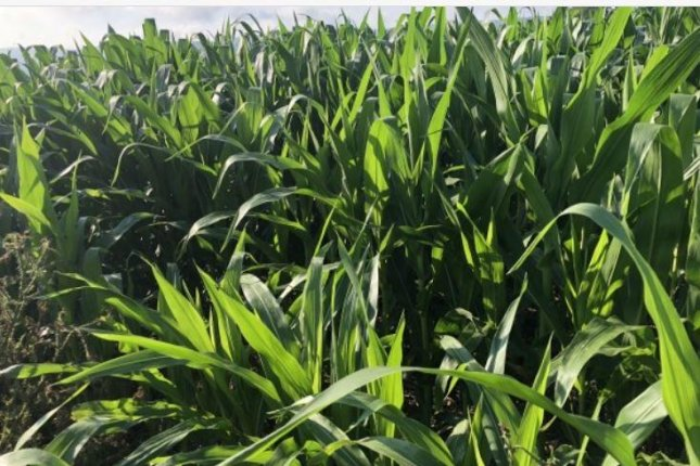 Upcoming drier than normal and hotter than normal weather could impact corn's critical pollination stage. Photo by John Roach/AccuWeather