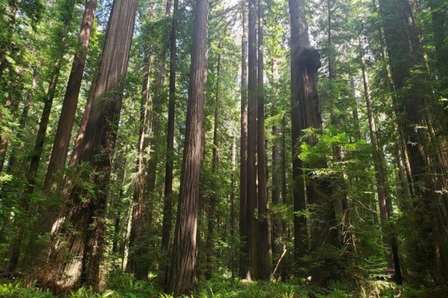 In 20 years, models predict redwoods will be largely confined to far Northern California, as hotter, drier conditions to the south favor oaks over conifers. Photo by Shane Coffield/UCI