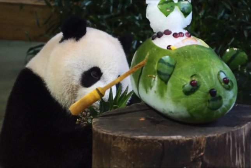 Watch Panda Presented With Watermelon Cake For Birthday Upi