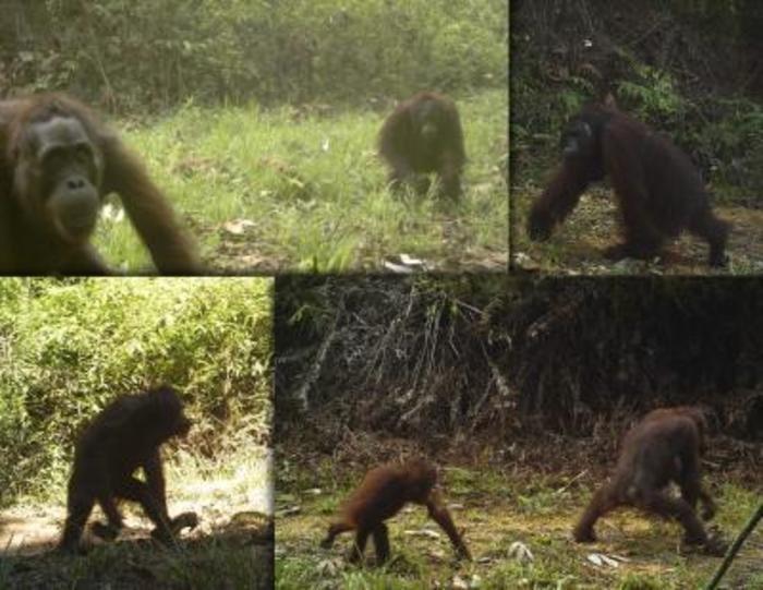Tree-dwelling orangutans in Borneo increasingly coming to earth