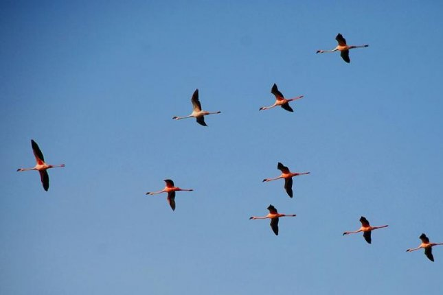 A flock of lesser flamingos fly in formation. Photo by Nikunj vasoya/CC.