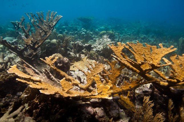 A colony of elkhorn coral in the wild. Photo by SECORE