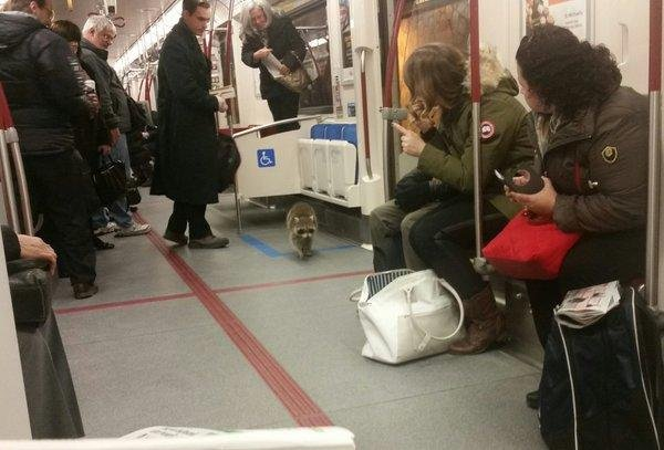 A raccoon caused a four-minute service delay as it ran into a Toronto subway car during the morning rush. The raccoon quickly exited the car and was last seen walking in a subway tunnel. Photo by Norm Kelly/Twitter