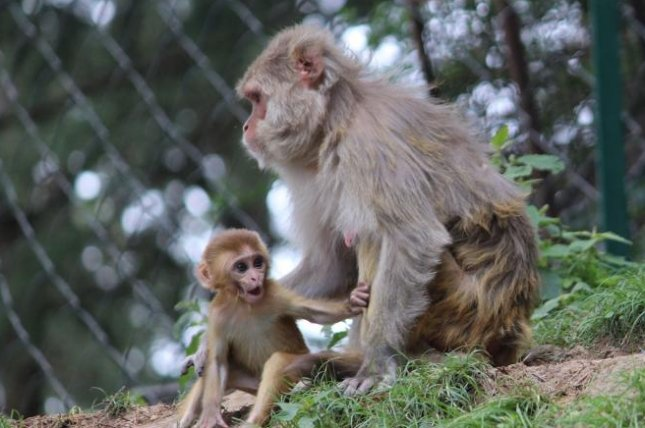 Researchers studied hormone levels of male rhesus monkeys who tend to exhibit social behavior challenges, finding they may be similar to boys with autism -- and suggesting a possible biomarker that could predict social impairments before they emerge. Photo by SandeepHanda/Pixabay