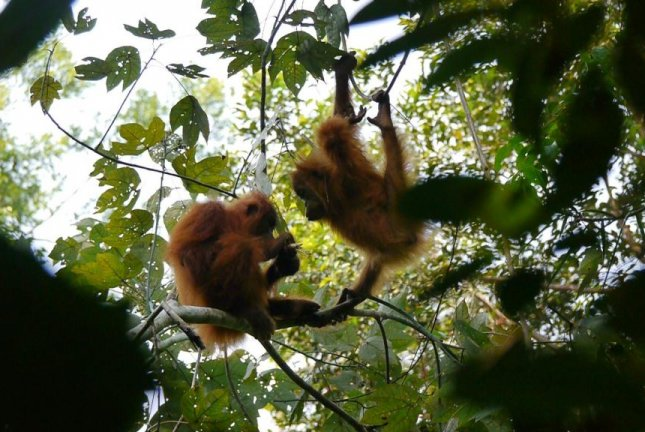 Orangutans in Sumatra are more culturally diverse than orangutans in Borneo. They are also more clever and boast bigger brains. Photo by Christiian Conradie and Caroline Schuppli