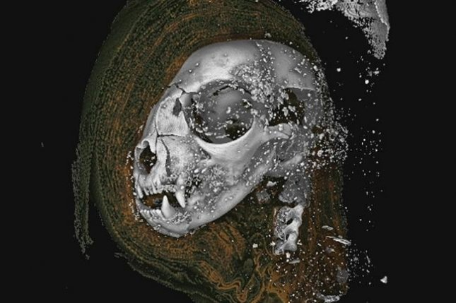 Researchers used laboratory-based X-ray microcomputed tomography, or microCT, to investigate the insides of mummified animals, including the mummified head of a Egyptian domestic cat. Photo by Richard Johnson, et al. / Scientific Reports