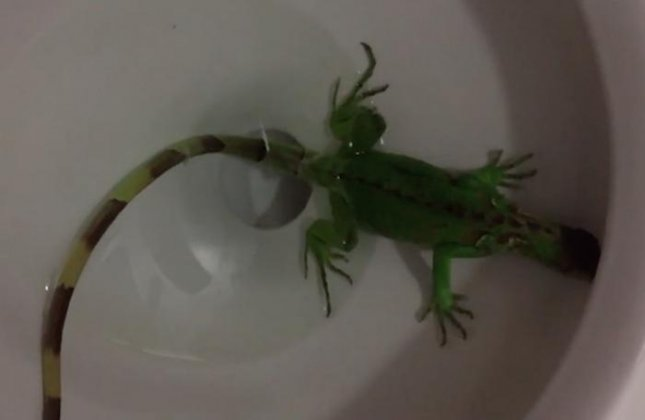 A Florida woman called Miami-Dade Fire Rescue after finding an iguana swimming at the bottom of her toilet bowl. Screen capture/Miami Herald/Inform Inc.