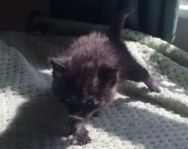 The RSPCA in Wales rescued a tiny 4-week-old kitten that was dropped from the sky by a flock of seagulls.  Screen capture/RSCPA Cymru/Facebook