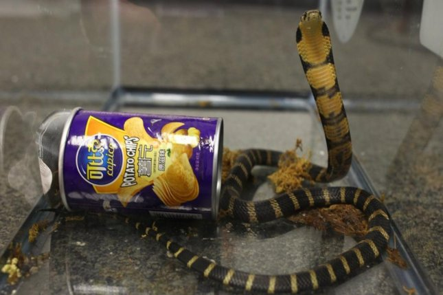 A California man was arrested after authroities intercepted a package from Hong Kong that contained three live king cobras in potato chip cans. Photo courtesy of the U.S. Attorney's Office for the Central District of California