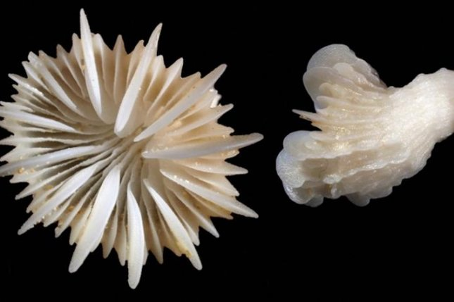 As corals like the cold water speciesDesmophyllum dianthus grow, their skeletons trap a variety of unique trace elements, like neodymium. These elements create a chemical fingerprint that can be used to study the ocean conditions in which they grew. Photo by Cairns S, Kitahara M/ZooKeys/Wikimedia Commons