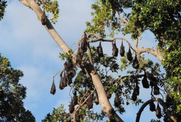 Flying foxes are exceptionally mobile, new research showed. The large bats use dozens roosting locations. Photo byKerry Raymond/Wikimedia Commons