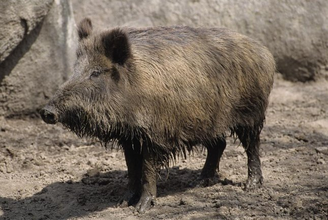 An incrwease in the wild boar populationm in Sicily, and the death of a man, prompted the regional government to take action. Photo courtesy of wikimedia.org/ Jabali