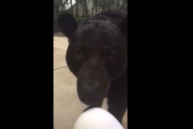 A bear sniffs the knee of a woman filming it in Florida. Screenshot: MyFWC/Vimeo