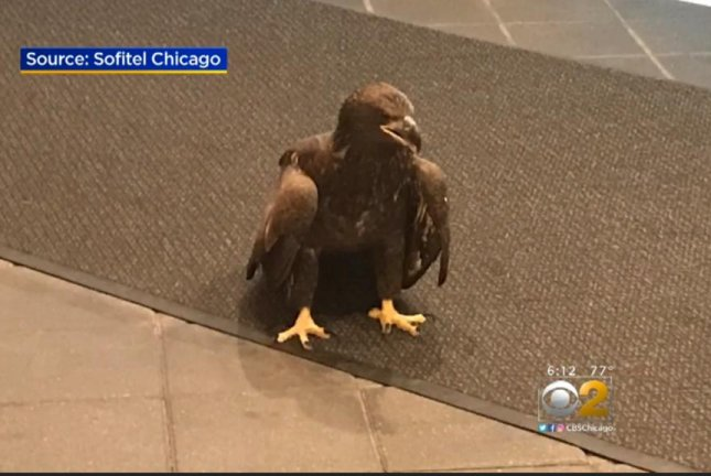 A bald eagle is being rehabilitated after crashing into the window of a Chicago hotel. Screenshot: WBBM-TV