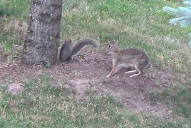 A squirrel and a rabbit playing tag in a Minnesota resident's yard. Screenshot: Newsflare