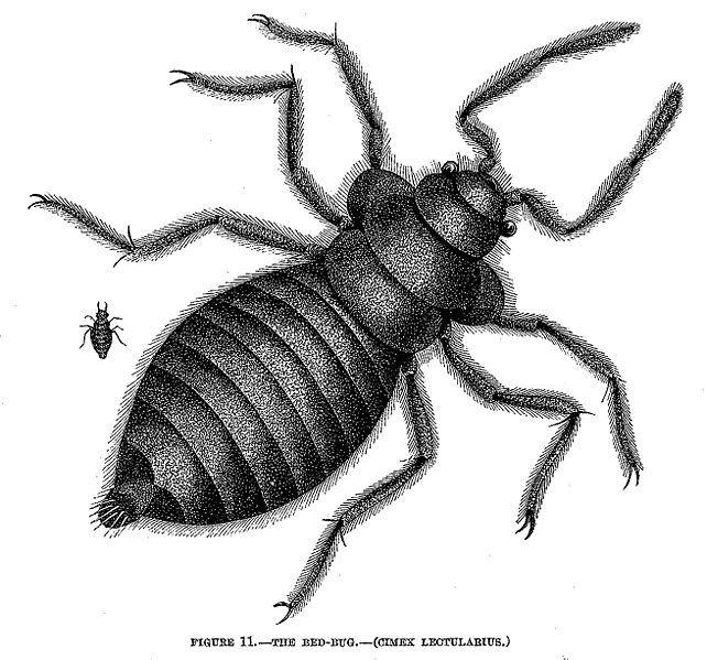 A bedbug, via Wikimedia Commons.
