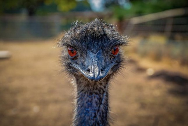 An emu that escaped from a Florida farm was recaptured after wandering across the border to Georgia. Photo by scholty1970/Pixabay.com